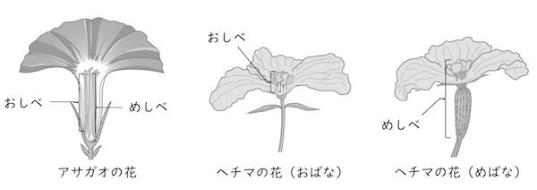 の の アサガオ つくり 花